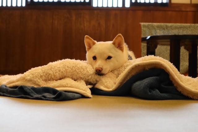 毛布といぬ